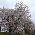 桜_市役所 D3392