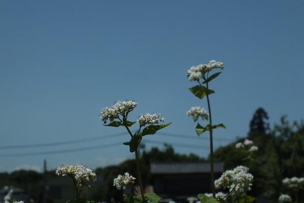 ソバの花 F0175