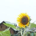 ひまわり_散歩道 F0232