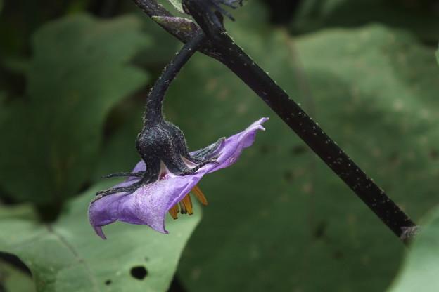 ナスの花 F0242