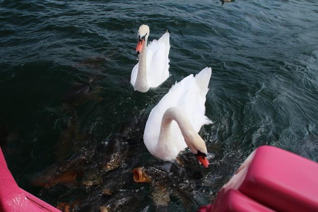 白鳥_山中湖 D4961