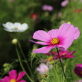 写真: コスモス_公園 D5250