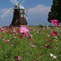 風車と秋桜_公園 D5298