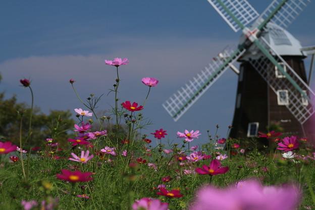秋桜と風車_公園 D5300