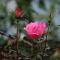 薔薇_公園 D5378