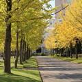 銀杏並木_公園D5479