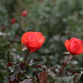 薔薇_公園 D5973