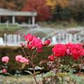 薔薇_公園 D5979