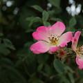 薔薇_植物公園 D5982