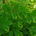 斑入り宝鐸草