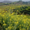 Photos: 菜の花と畑