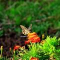 写真: アゲハチョウ 拾い上げファイル