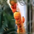 写真: 年取り柿