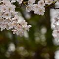 聚楽園 桜2