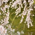 聚楽園 桜5