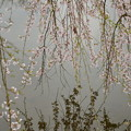 聚楽園 桜7