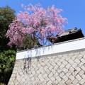 住心院の枝垂桜