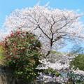 一等寺の桜と椿