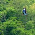 ブッポウソウの飛翔