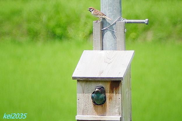 ボッポウソウの幼鳥