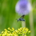 「幸せを呼ぶ青い蜂」ルリモンハナバチ