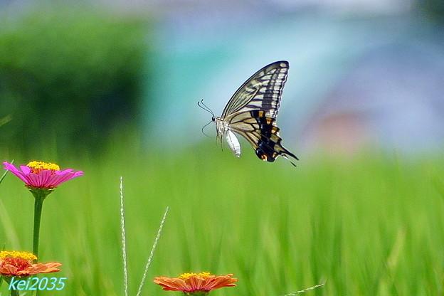 蝶の舞 NO.3