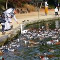 深山公園のカモと白鳥