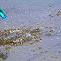 カワセミの水浴び