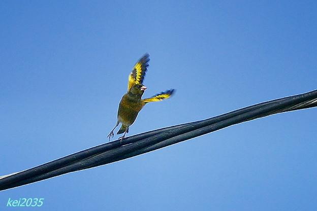 カワラヒワの飛翔