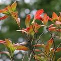 紅葉(レンゲツツジ)