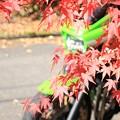 写真: 紅葉を求めて・・・