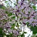 センダンの花