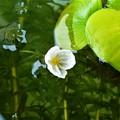 写真: 水草の花