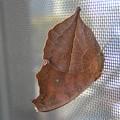 写真: カレハ蝶(タテハモドキ)