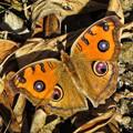 写真: タテハモドキの目玉模様