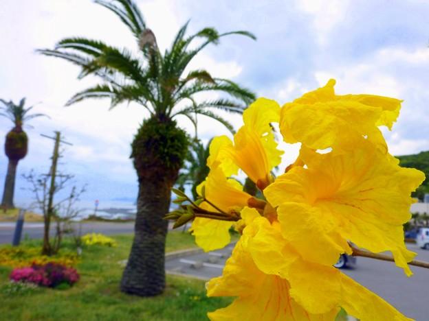 イペーの花とフェニックス
