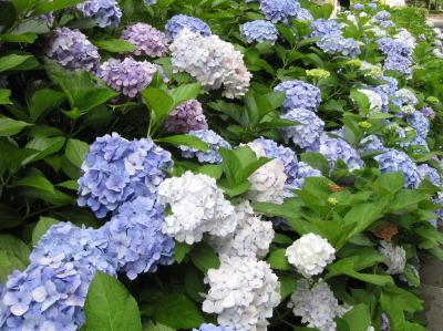 札幌はあじさいの季節