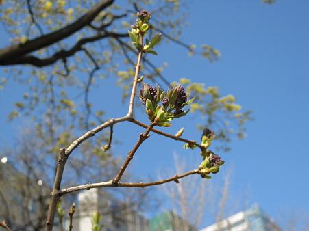 ライラックの花芽