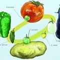 写真: ナス科野菜の原種