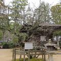 高野山壇上伽藍(高野町)西行桜