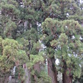 高野山 金剛三昧院(高野町)六本杉