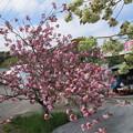 17.04.25.羊山公園 (秩父市)芝桜の丘