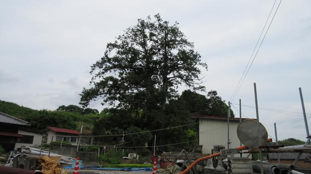 萬年寺(藤枝市)万年寺のカヤ