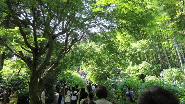 明月院(鎌倉市)アジサイ寺