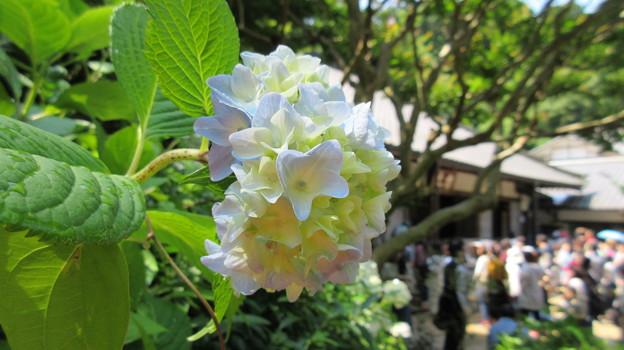Photos: 17.06.19.明月院(鎌倉市)アジサイ寺