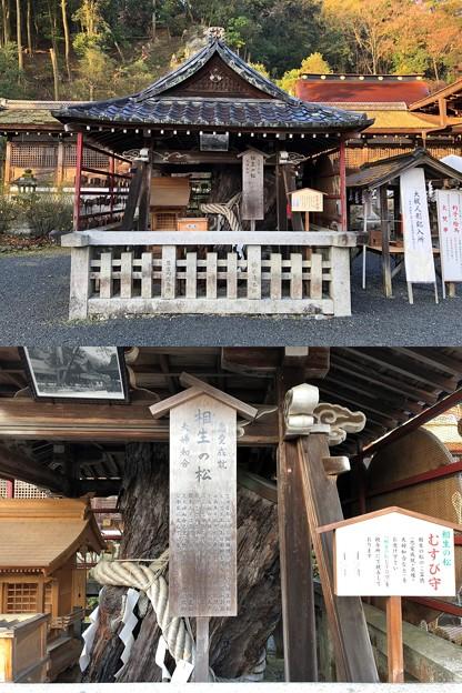 松尾大社(西京区)相生の松