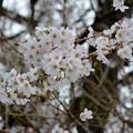 在りし日の桜・1~