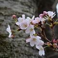 在りし日の桜・2~
