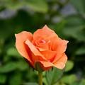 鉢植えのバラ~