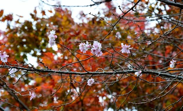 モミジと桜~